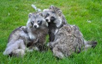 RACOON DOGS